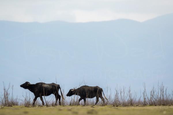 Greece Lake Kerkini Wildlife Photography Water Buffalo