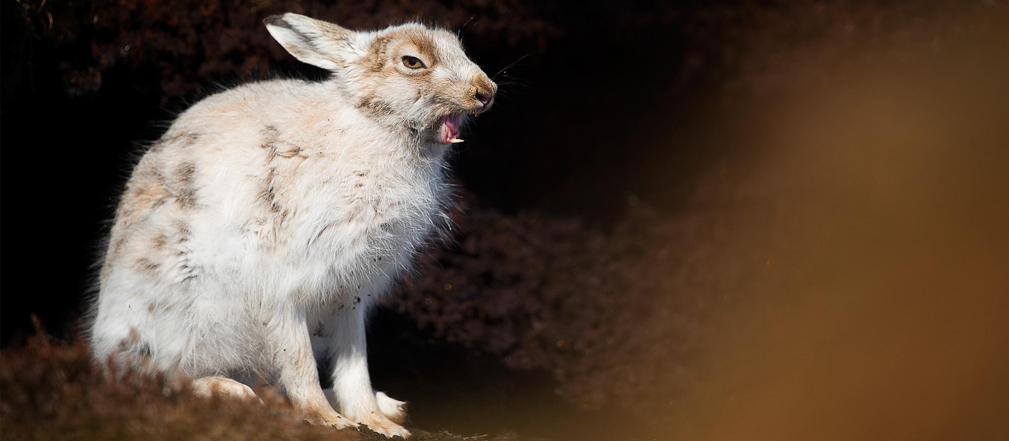Mountain Hare Photography Workshop Derbyshire Peak District Wildlife