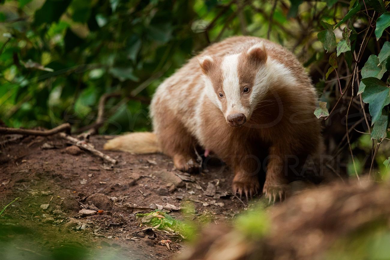 Badger Erythristic Peak District Derbyshire Wildlife Photography