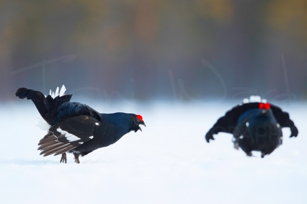 Black Grouse Norway Lek Blackcock Europe