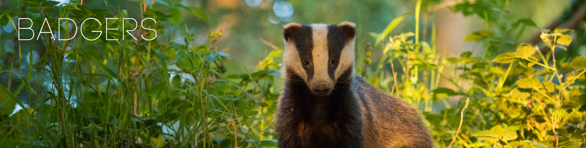 Badger Wildlife Photography Peak District National Park Derbyshire