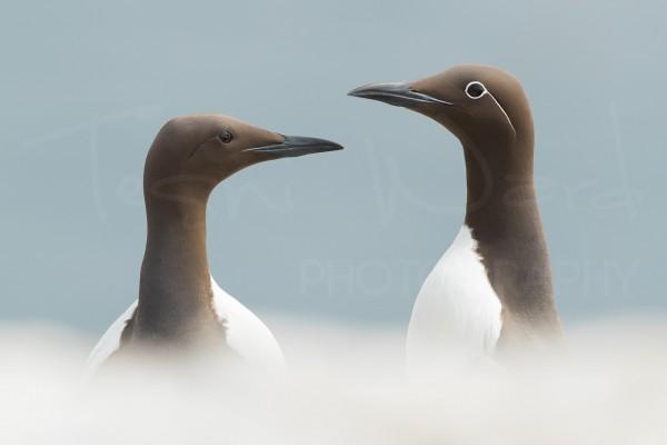 Coastal Bird Wildlife Photography Guillemot Bridled