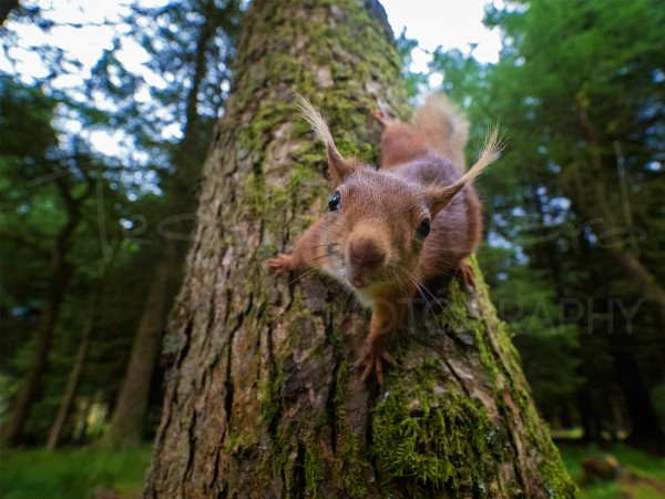 Red Squirrel North Yorkshire Dales Wildlife Photography