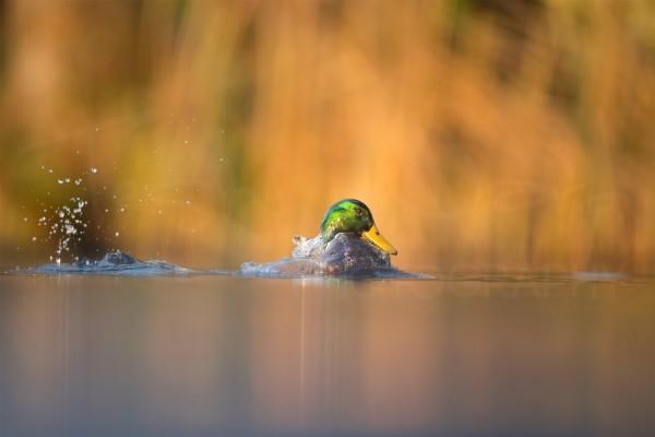 Duckling Mallard Peak District National Park Derbyshire