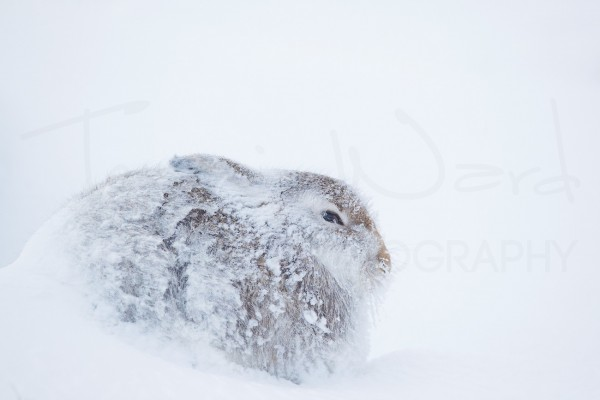 Mountain Hare Cairngorms National Park Scotland