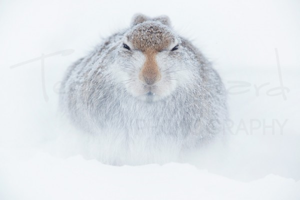 Mountain Hare Cairngorms National Park Scotland