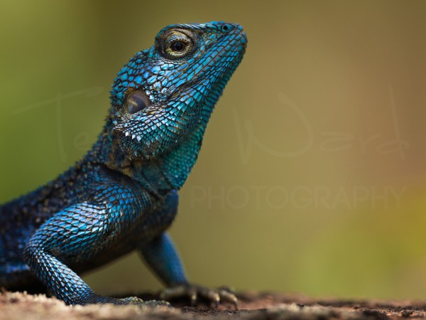 Southern Rock Agama Wildlife Photography Africa