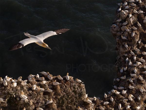 Coastal Bird Wildlife Photography Gannet Bempton