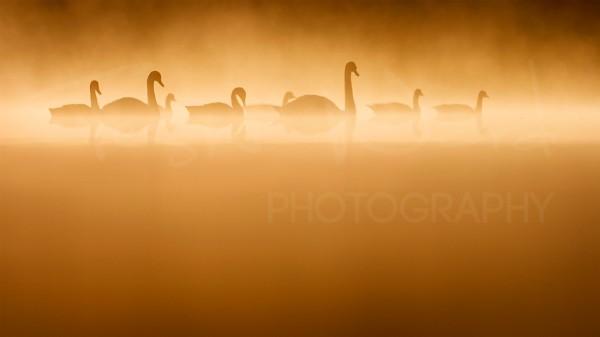 Swan Geese Lake Morning Golden