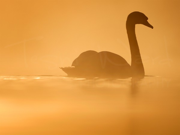 Swan Lake Morning Golden