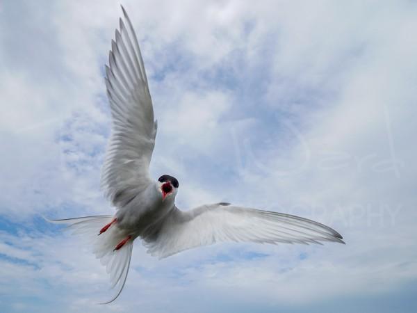 Arctic Tern Coastal Bird Wildlife Photography