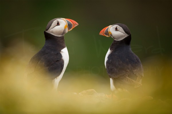 Puffin Coastal Bird Wildlife Photography