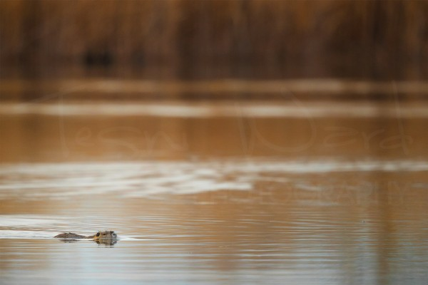 Coypu Greece Nutria Wildlife Photography