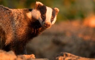 Badger Diaries Peak District Derbyshire Wildlife Photography