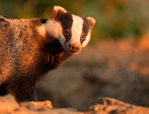 Life with Badgers