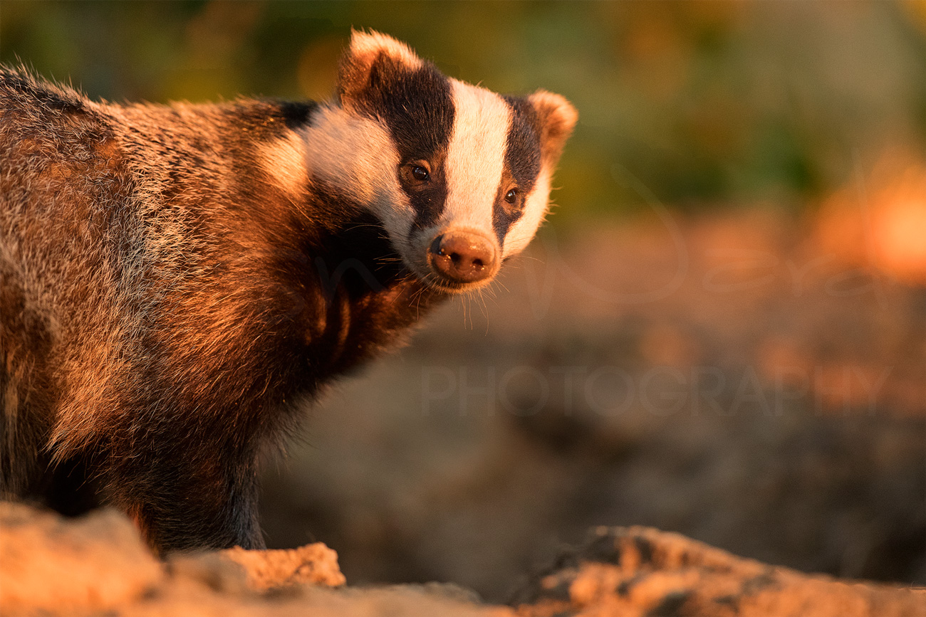 Badger Diaries Peak District Derbyshire Wildlife Photography