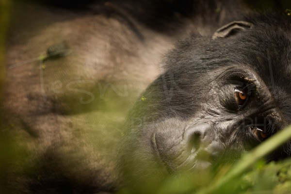Gorilla Africa Wildlife Photography Primate