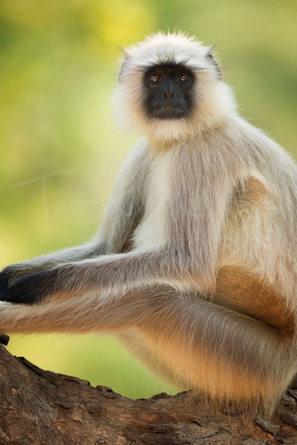 Langur Monkey India Bandhavgarh
