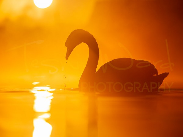 Swan Waterfowl Peak district Wildlife Photography